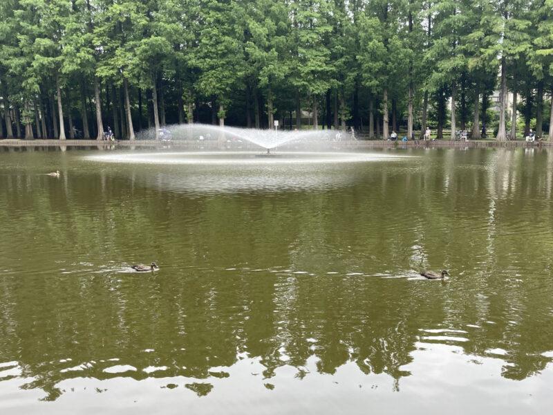 別所沼公園のカルガモ